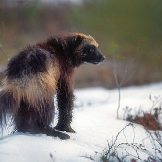 Critically endangered in Finland.