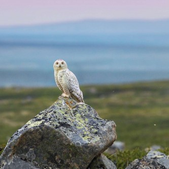 Loss of habitats due to the expansion of the boreal forest will threaten the survival of species such as the Arctic fox and the Snowy owl, which feed mainly on lemmings on the open tundra.