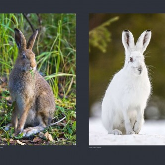 The Mountain hare, or Snow hare, is adapted to Arctic conditions. It competes with the European hare for the same habitats. Hare fur turns from brown to white as days get shorter during autumn. With warming temperatures, snow will melt earlier in spring, while the Snow hare still has white fur. Losing its camouflage, it might become easier prey for predators.